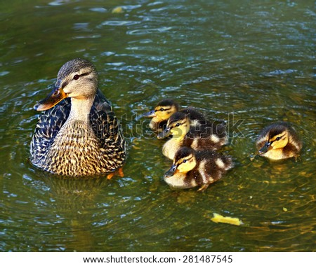 A mother duck with her four ducklings in the water. - stock photo