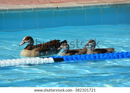 A mother duck with her two ducklings floating on the surface of a public swimming-pool outdoors. - stock photo