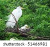 A mother great white egret standing watch over the chick in their nest. - stock photo