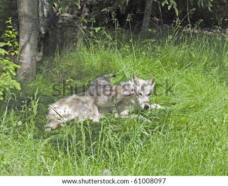 A mother grey wolf pup (canis lupus) tolerates her playful puppy's attention. - stock photo