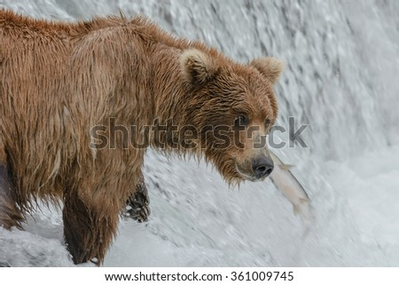 A mother grizzly bear misses an opportunity looking the other way while a salmon jumps upstream literally in front of her face - Brook Falls - Alaska - stock photo