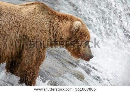 A mother grizzly bear skillfully catching salmon at the top of a waterfall while her three cubs wait for her on the shore - Brook Falls - Alaska