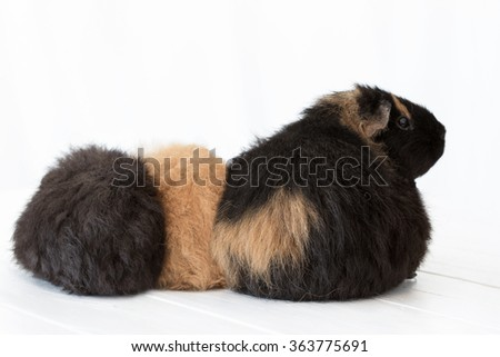 A mother guinea pig sits with her babies on a white wooden table with a white curtain background. The photo shows their fluffy bottoms as mom looks back. Horizontal format. - stock photo