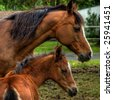 A mother horse and baby foal. - stock photo
