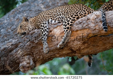 A mother leopard resting in a tree - stock photo