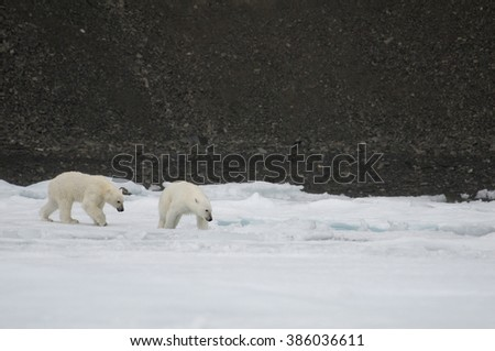 A mother polar bear and her dripping wet, two-year-old cub inspect a hole in the sea ice off Baffin Island, Nunavut, Canada. - stock photo