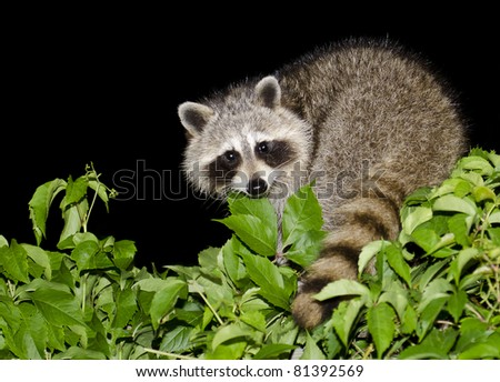 A mother raccoon looking for food at night. - stock photo