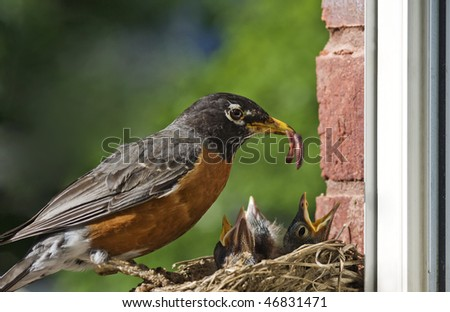 A mother Robin feeding a worm to her babies, closeup with selective focus, horizontal with copy space - stock photo