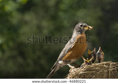 A mother Robin feeding her babies worms, shallow depth of field with selective focus, horizontal with lots of copy space - stock photo
