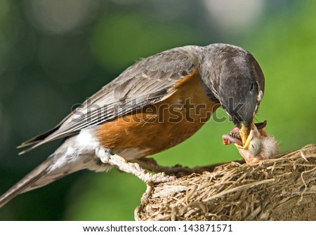 A mother robin feeding her baby worms, plenty of space for text