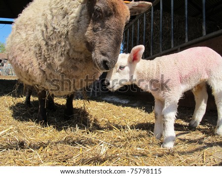 A mother sheep nuzzles her baby lamb - stock photo