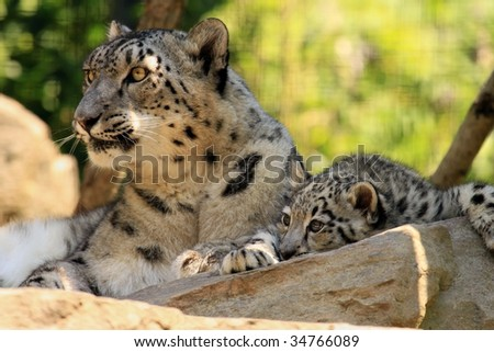 A mother snow leopard (uncia uncia) and her cub. - stock photo