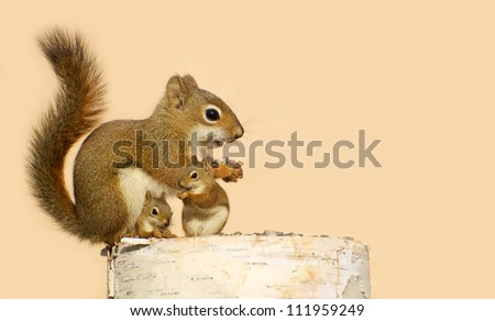 A mother squirrel and her two babies eating sunflower seeds on a birch log in the spring with copy space. Part of a  series.