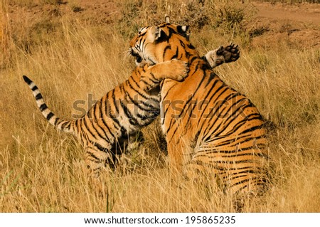 A mother tiger receiving a hug from her cub - stock photo