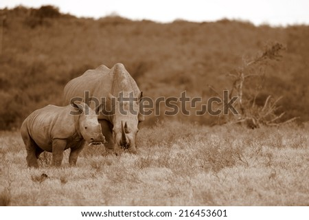 A mother white rhinoceros and her calf in this sepia tone image. - stock photo