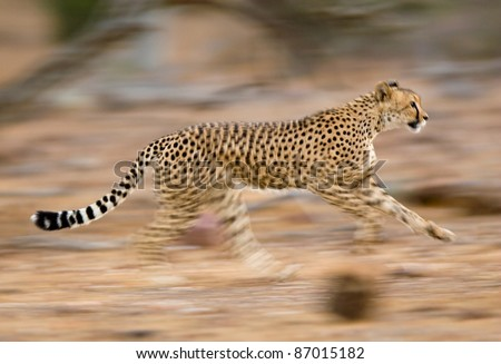 A motion blur photograph of a young cheetah running