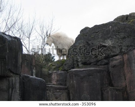 A mountain goat peeks out from the rocks at the Oregon Zoo. - stock photo