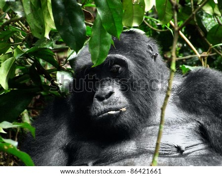 a Mountain Gorilla in the cloud forest of Uganda (Africa) - stock photo
