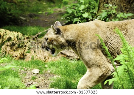 A mountain lion walking in the forest - stock photo