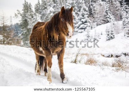 A mountain pony stands in front of snow covered trees - stock photo