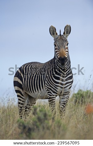 A Mountain Zebra on top of a hill - stock photo