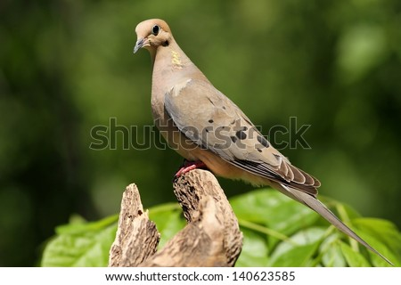 A Mourning Dove perched and posing for me near my bird feeder in Missouri. - stock photo