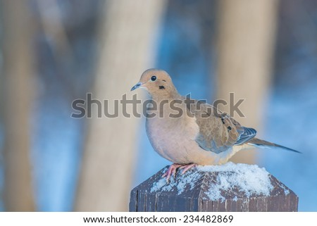 A mourning dove perched on a post with bird seed. - stock photo