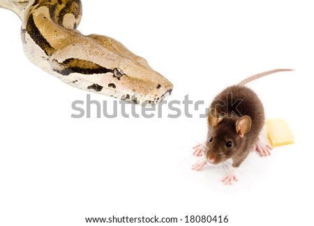a mouse ate some cheese and became food itself - stock photo