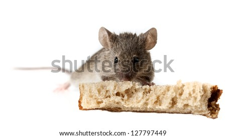 a mouse eating bread isolated on a white background