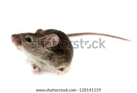 a mouse isolated on white background - stock photo