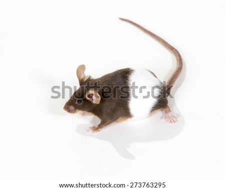A mouse portrait. Image taken in a studio. - stock photo