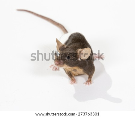 A mouse portrait. Image taken in a studio.