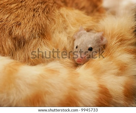 A mouse protected in the curl of a cats tail
