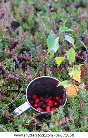 A mug with just picked fresh cranberries. Mug is lying on the ground in a swamp with the complementary greenery visible.