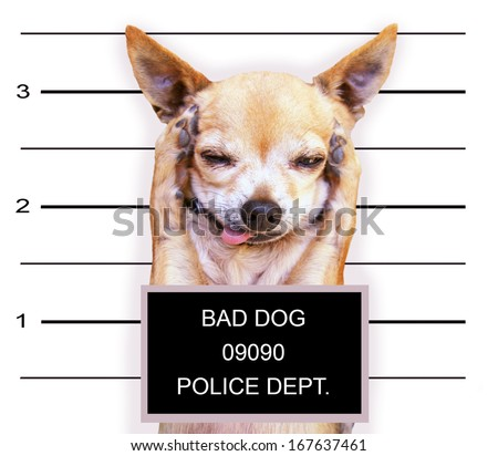 a mugshot of a cute chihuahua - stock photo