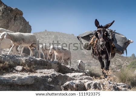 A mule carrying sheep while waiting for the herd crossing the road