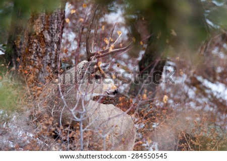 A mule deer buck blending into his surroundings, camouflaged in the brush