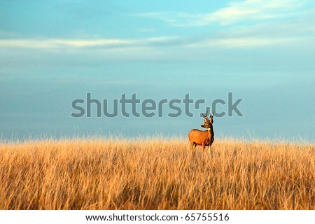 A mule deer buck stands in a tall bed of grass and looks into the autumn sun on the great plains.