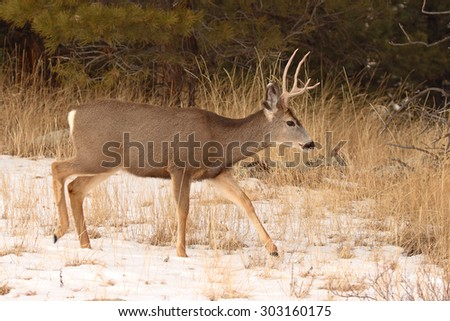 A Mule Deer buck stepping through snow during winter in Colorado - stock photo