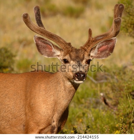 A Mule Deer buck with uneven antlers covered in velvet in Colorado.