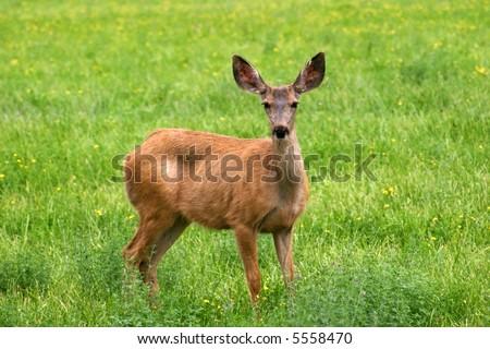 A mule deer (Odocoileus hemionus) doe in a meadow - stock photo