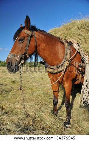 a mule rigged up to a hay cart with traditional harness and tack