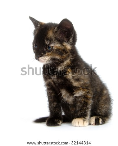A multi color kitten sitting on an isolated white background