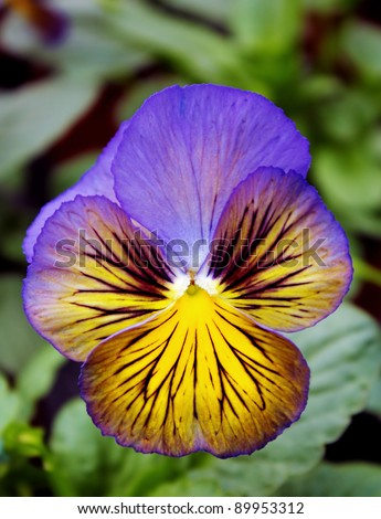 A multicolored pansy on a soft background. - stock photo