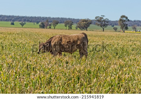a murray grey cow grazing in a crop damaged by frost - stock photo