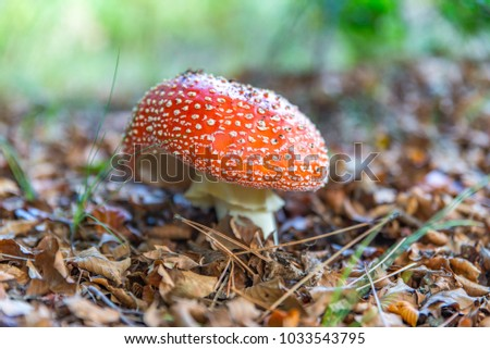 A mushroom of the amanita muscaria species grown in the undergrowth in autumn on Mount Etna.