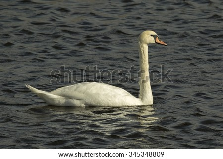 A Mute Swan (Cygnus olor) on the water