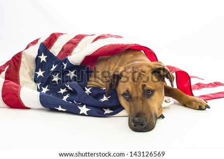 A mutt dog draped in American Flag mourns the loss of a patriotic friend - stock photo