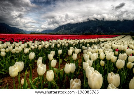 A myriad of incredibly bright cream and red colored tulips - stock photo