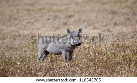 A n adult warthog on the savanna. Serengeti National Park, Tanzania - stock photo